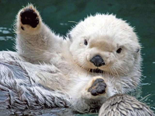 5 Reasons You Otter Fall In Love With Sea Otters Playbuzz