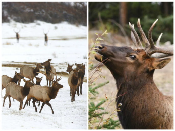 An Entire Herd Of 41 Elk Have Died After Falling Through Ice In Oregon