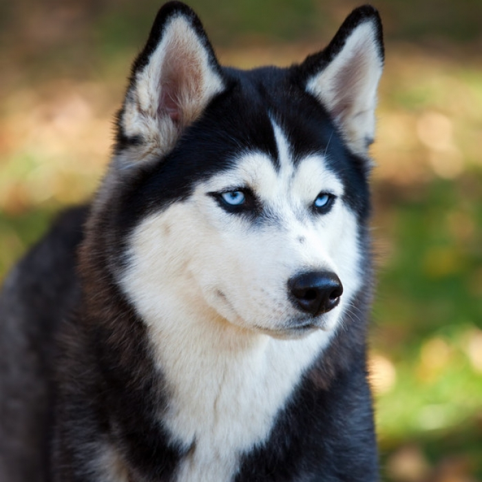 What Color Siberian Husky Are You
