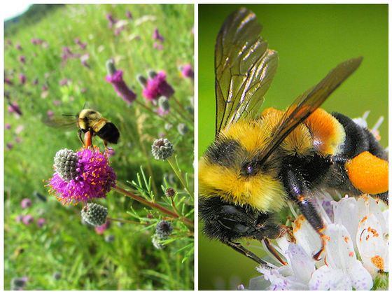 The U.S. Has Put Its First Bumblebee On The Endangered Species List