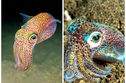 Get Ready To Fall In Love With Bobtail Squids, The Tiny Rainbow Leopards Of The Sea!