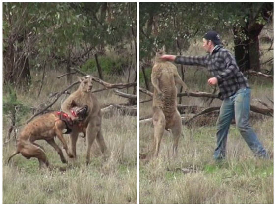 This Man Punched A Kangaroo In The Face To Save His Dog