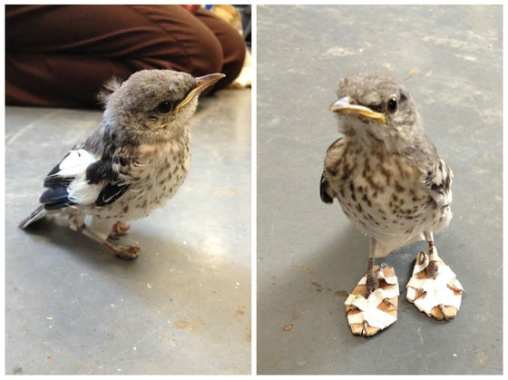 This Tiny Mockingbird Injured Its Feet, But Now It Has Snowshoes To Help It Heal!
