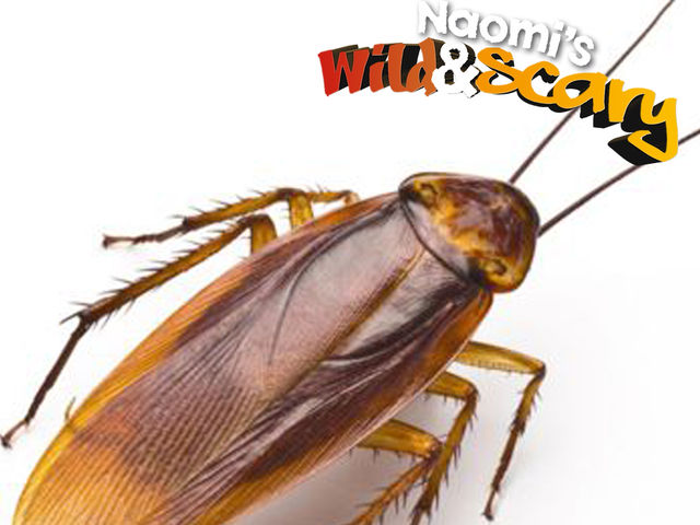 How many species of cockroach are there?