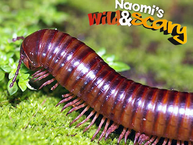 What is the most number of legs ever found on a millipede?