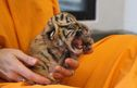 Meet The Cincinnati Zoo's Newest And Most Genetically Valuable Malayan Tiger Cubs!