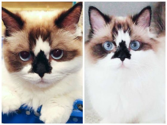 "This Munchkin Cat Has A ""Skull Nose"" And A Whole Lot Of Cuteness!"