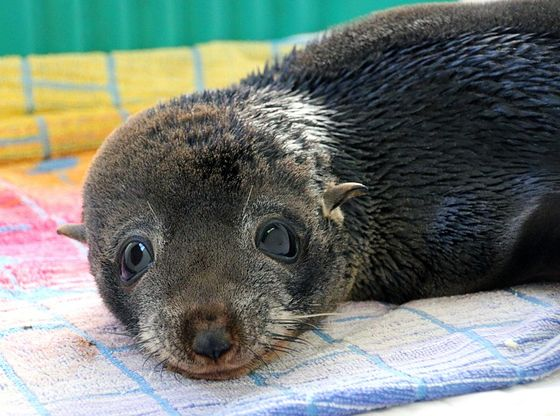 This ADORABLE Baby Seal Was Stranded On A Beach After A Storm, But Look At Him Now!