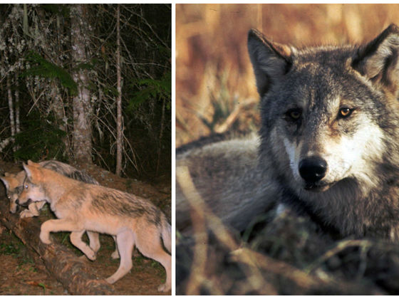 The State Of Washington Has Decided To Kill An Endangered Wolf Pack After Repeated Attacks