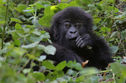 You Know You Love 'Em...But How Much Do You REALLY Know About The Mountain Gorillas Of Africa?