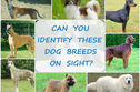 Can You ID These 18 Different Dog Breeds On Sight?