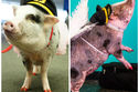 Meet The San Francisco Airport Therapy Pig Helping Travelers Fly More Calmly!