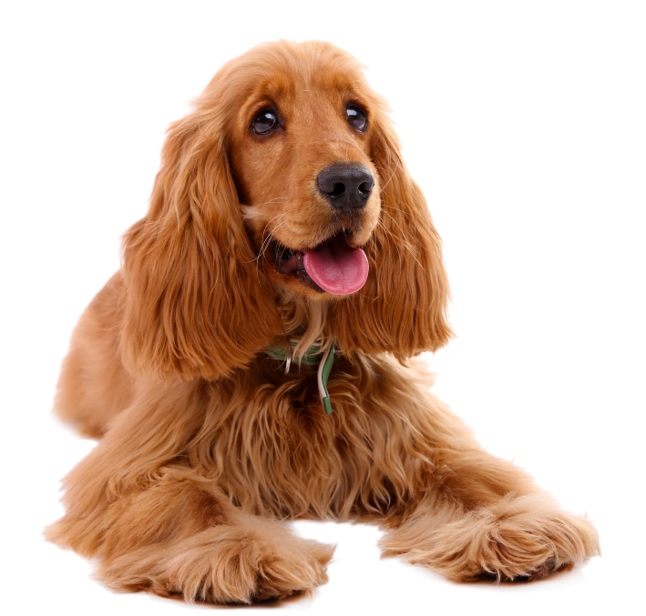 Dog Breeds With Long Hair On Ears Lajoshrichcom