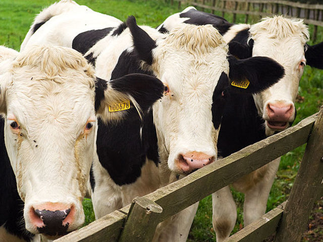 project report cow dairy 1 yes, dairy business (cow milk farm) is profitable but the profitability depends on very many factors your major capital expense will be towards land, building, equipments and animals.