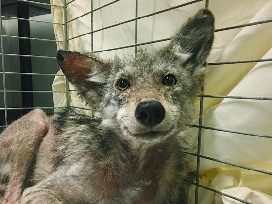 This Coyote Was Rescued And Now He Can't Stop Smiling!