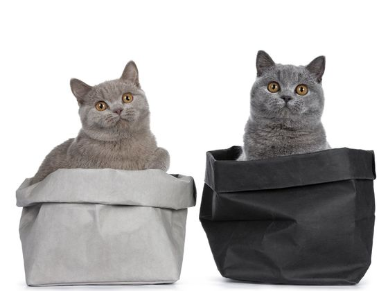 What Kind of CAT Breed Are You?