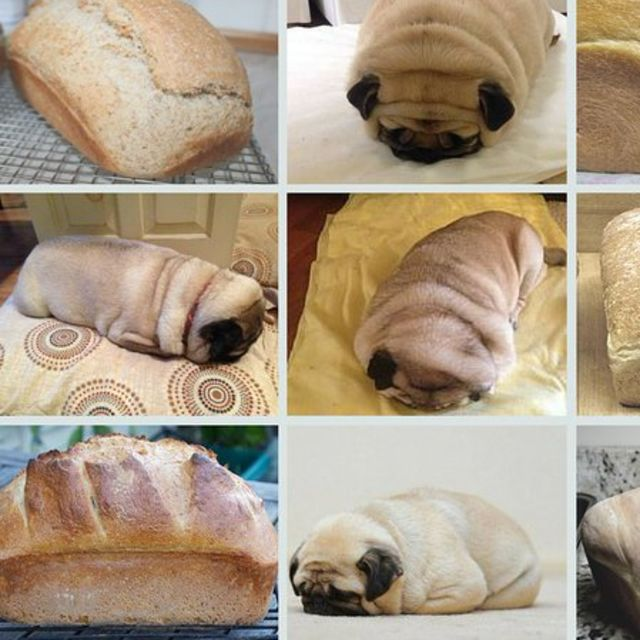 Chihuahua Or Muffin 10 Dogs That Totally Look Like Food