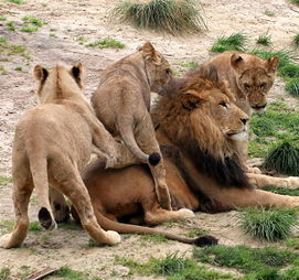 male lion with cubs - 898×701