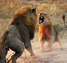 Dois leões lutando