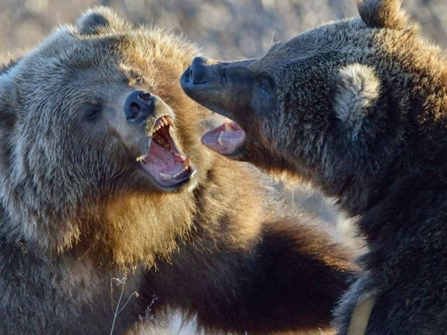 Os ursos estão lutando