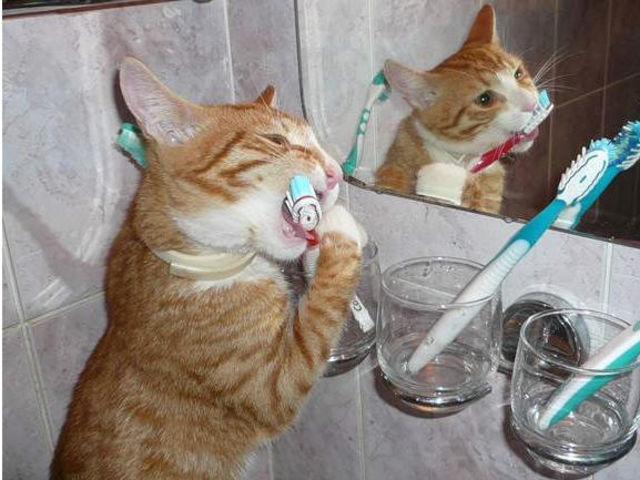 Dentes escovados de gato