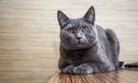 5 Things All British Shorthair Owners Know To Be True