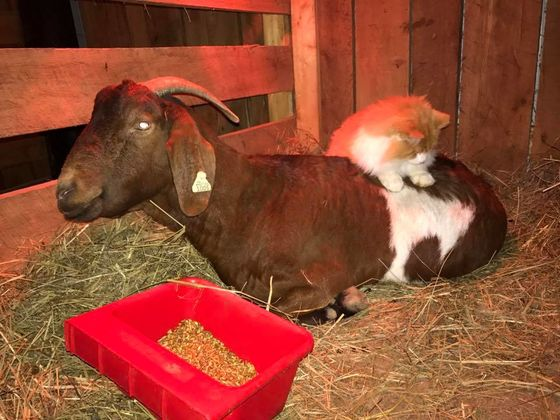 This Goat Has A Cat As A Midwife! No, Seriously!